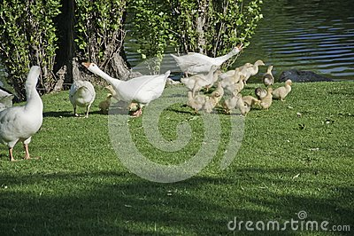 Geese with their offspring