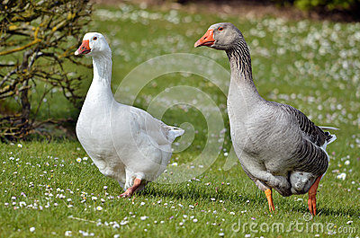 Geese walking on grass