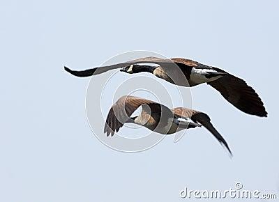 Geeses di volo