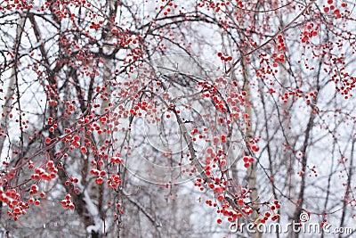 gefrorene schneebedeckte rote beeren auf baum stockfoto bild 46810194. Black Bedroom Furniture Sets. Home Design Ideas