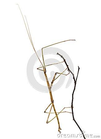 Gehender Nordsteuerknüppel auf einem Zweig