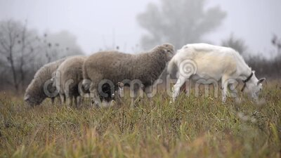 Geiten en schapen grazen 's morgens in de wei in de mist stock video