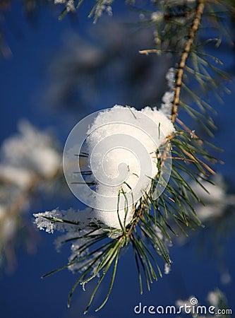 Gel sur le pin