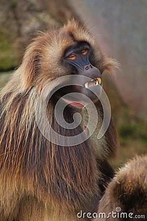 Free Gelada Baboon Stock Image - 16539581