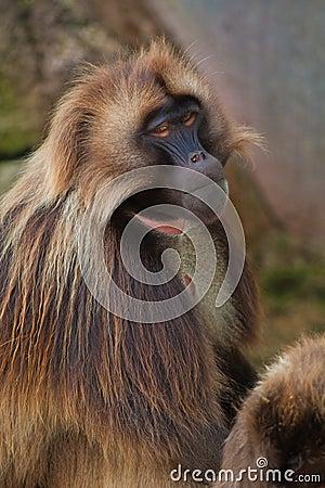 Free Gelada Baboon Stock Photos - 16977693
