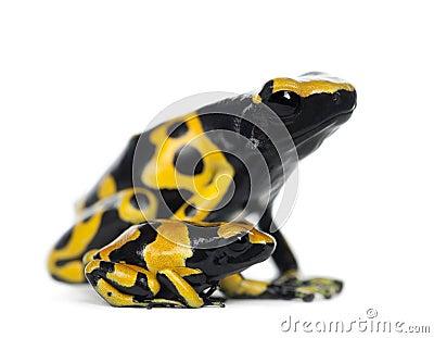 Gelb-Mit einem Band versehene Gift-Pfeil-Frösche