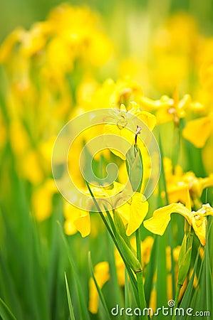 gelbe blumen auf tageslicht im garten lizenzfreie stockfotos bild 23221368. Black Bedroom Furniture Sets. Home Design Ideas
