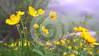 Gelbe Blumen, die in den Wind beeinflussen Der Hintergrund wird, aber sichtbare Bäume, Nebel, grüner Wald verwischt stock footage