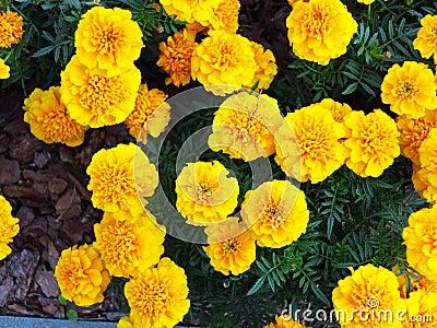 gelbe blumen im garten ringelblume tagetes stockfoto bild 44629371. Black Bedroom Furniture Sets. Home Design Ideas