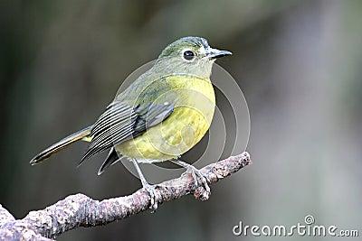Vogel schwarze Kopf gelbe Brust