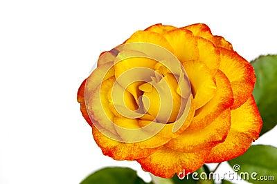Gele en Rode Rose Isolated