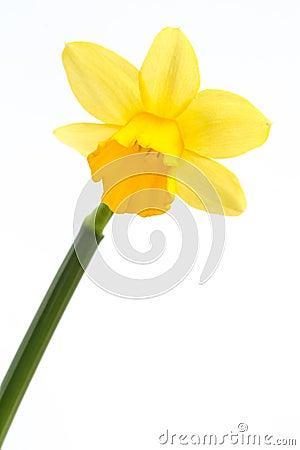Gele gele narcis in bloei met stam