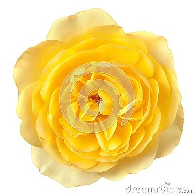 Gele Rose Isolated