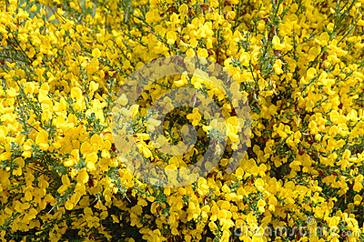 Gele struik stock foto afbeelding 41310416 - Bush architectuur ...