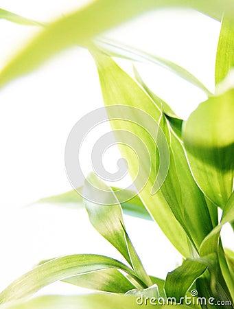 Gelukkig bamboe