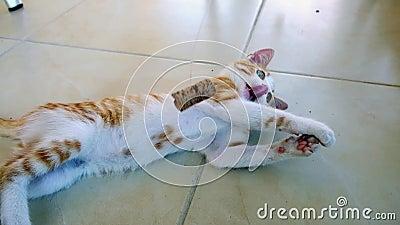 Gelukkig Ginger Kitten Playing With Cork op een Koord stock videobeelden