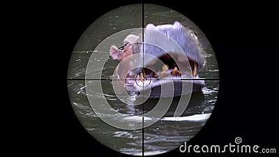 Gemeenschappelijk die Nijlpaardnijlpaard Amphibius in het Werkingsgebied van het Kanongeweer wordt gezien Het wild de Jacht Bedre stock video
