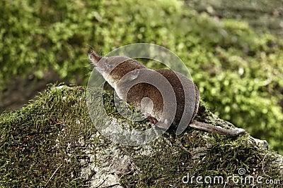 Gemeenschappelijke spitsmuis, Sorex-araneus