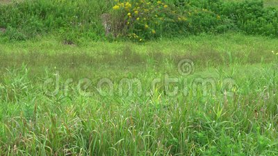 Gemeinschaft der gelben Schmetterlinge, Eurema hekabe, in Sado, Japan stock footage