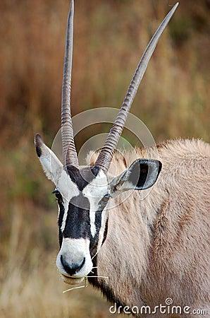 Gemsbok African Antelope