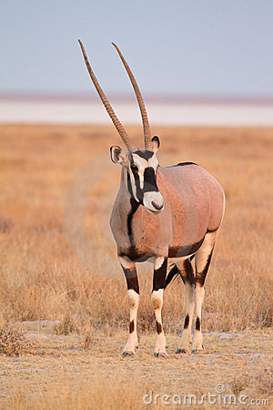 Free Gemsbok Antelope Royalty Free Stock Photography - 18390107