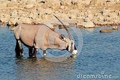 Gemsbok antelope drinking