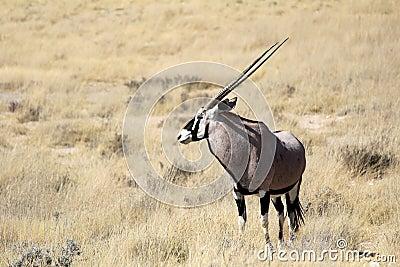 Gemsbok antelope, Etosha National Park