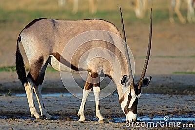 Gemsbok antelope, Kalahari desert, South Africa