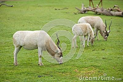 Gemsbok Antelope in naturan enviroment