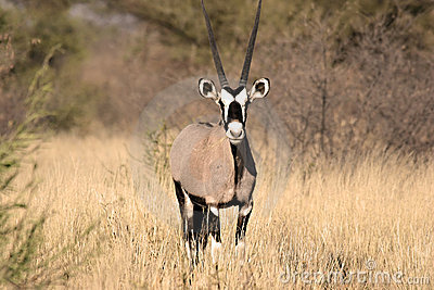 Gemsbok in Central Kalahari