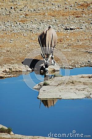 Gemsbok en Etosha