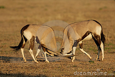 Gemsbok fighting, Kalahari desert