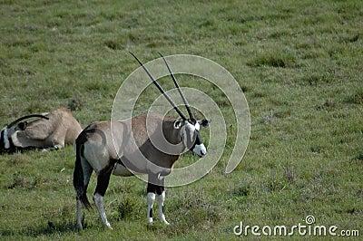 Gemsbok on grassland