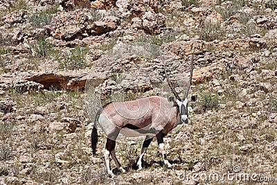 Gemsbok in Kalahari