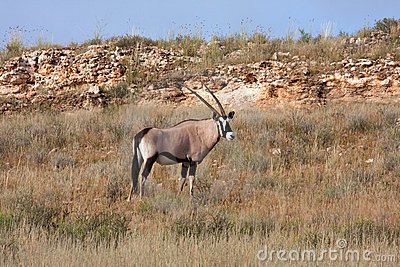 Gemsbok in Kalahari