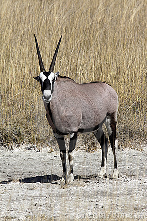 A Gemsbok in Namibia