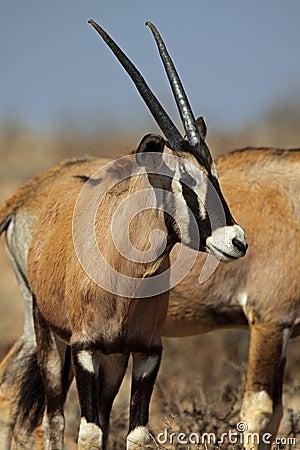 Gemsbok oryx calf, Kalahari desert