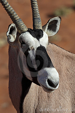 Gemsbok oryx close-up