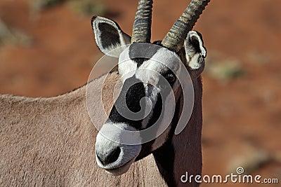 Gemsbok oryx close-up