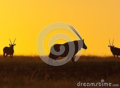 Gemsbok (Oryx) - Damaraland - Namibia