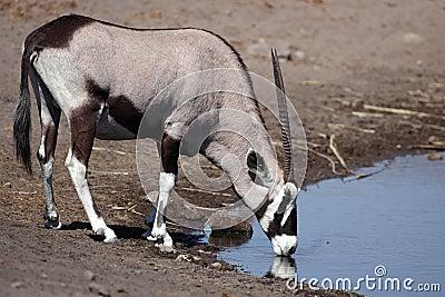 Gemsbok oryx drinking