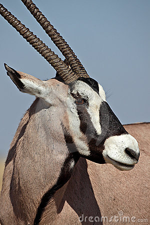 Free Gemsbok Oryx, Etosha, Namibia Royalty Free Stock Photography - 11247447