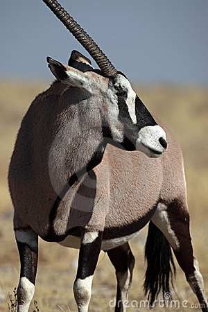 Free Gemsbok Oryx, Etosha NP, Namibia Royalty Free Stock Photography - 12070847