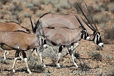 Gemsbok oryx family, Kalahari desert