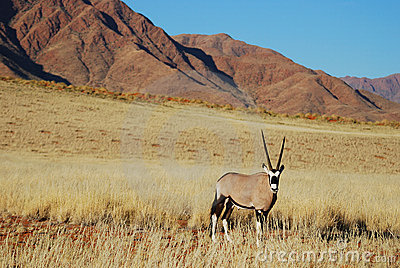 Gemsbok (Oryx gazella)