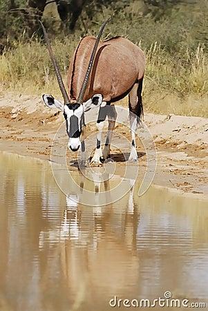 Gemsbok (Oryx gazella) drinking