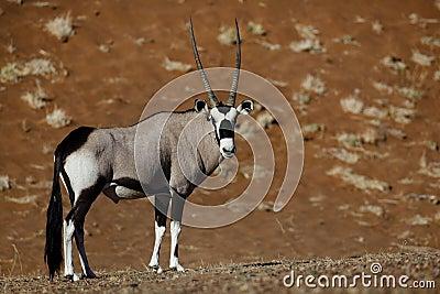 Gemsbok oryx, Namib desert dunes