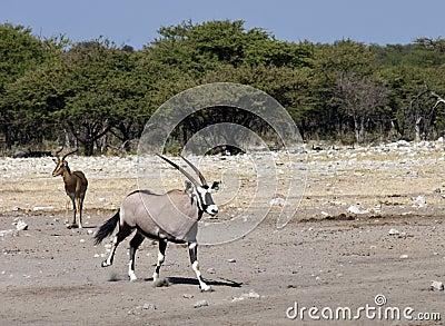 Gemsbok (Oryx) - Namibia