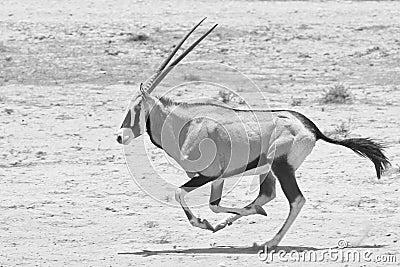 Gemsbok Oryx running