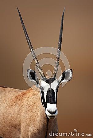 Gemsbok portrait in Etosha